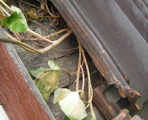Dachwartungsexperte – Schaden durch Efeu